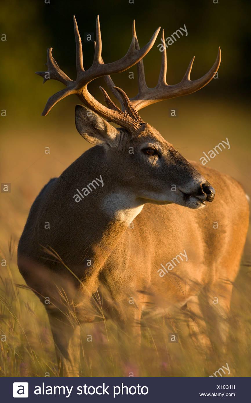 White-tailed Deer, Odocoileus virginianus, grazing in field, Cox - Stock Image