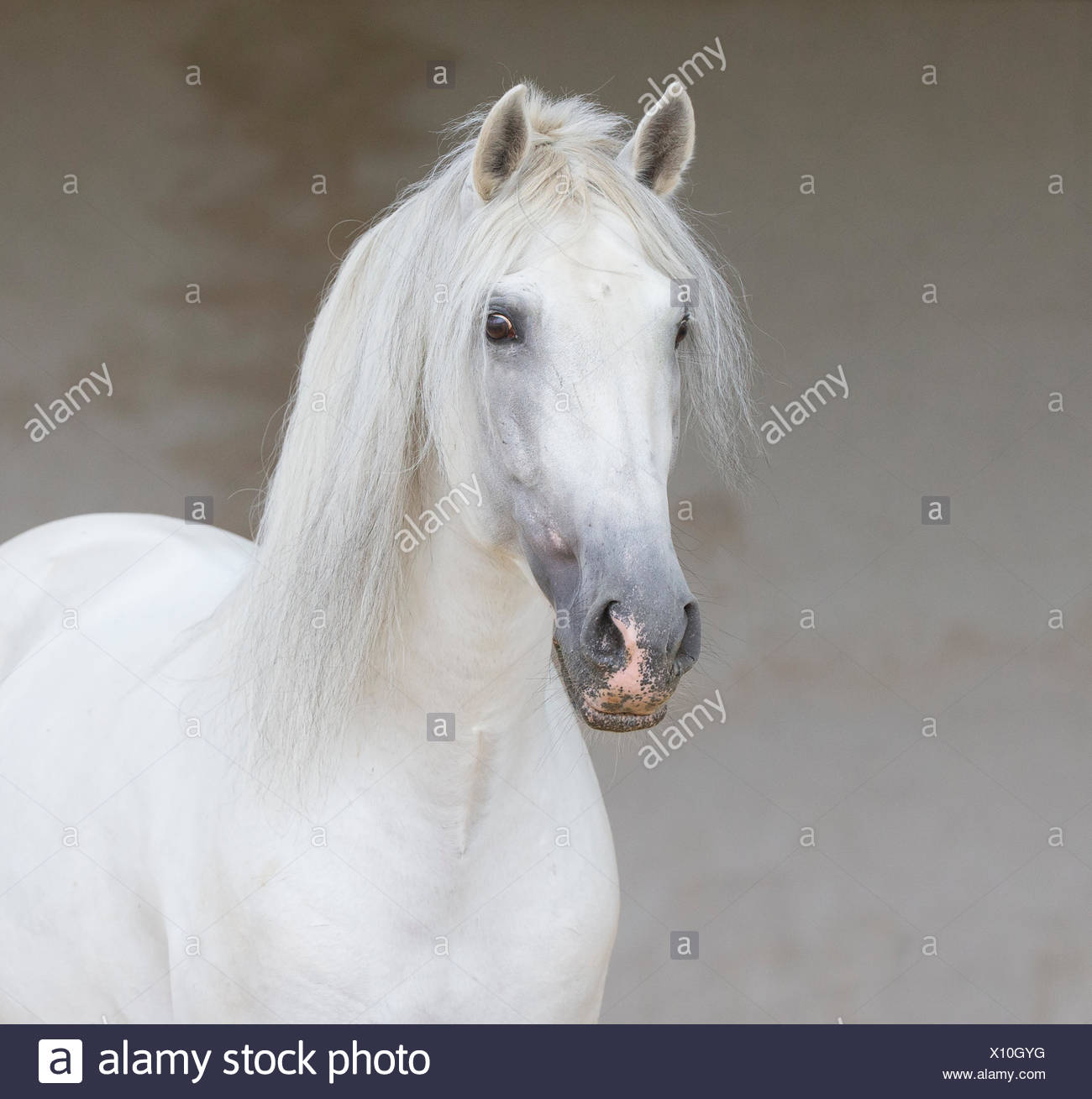 Head portrait of grey Andalusian stallion standing quietly in arena, Northern France, Europe. - Stock Image