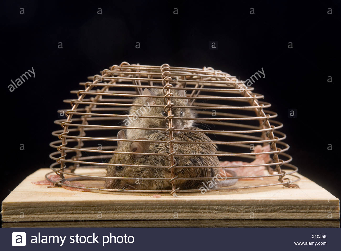 house mouse (mus musculus) in a  mousetrap Stock Photo