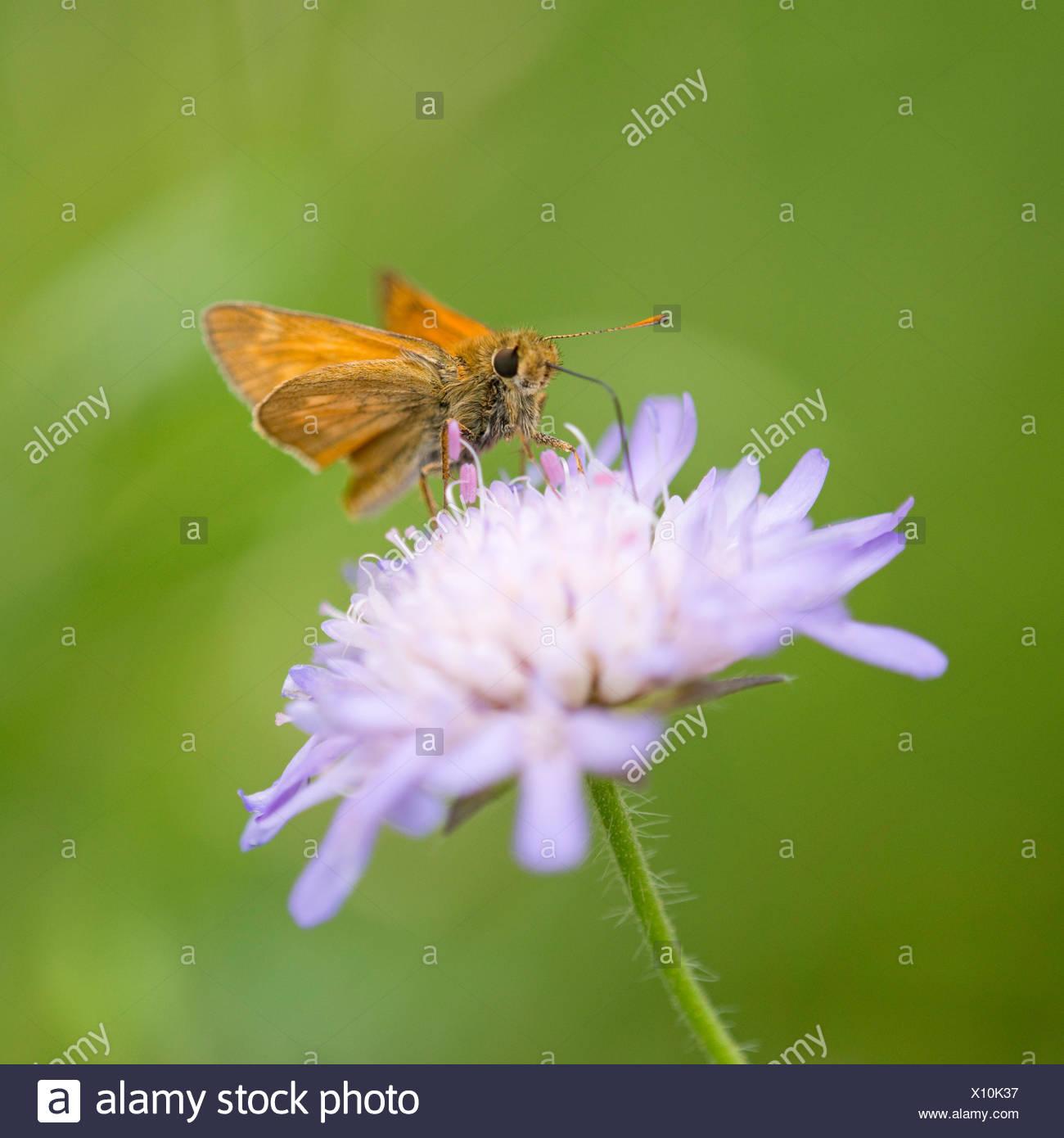 Large Skipper Butterfly (Ochlodes sylvanus, Ochlodes venatus) sucking nectar from a flower of a Field Scabious (Knautia - Stock Image