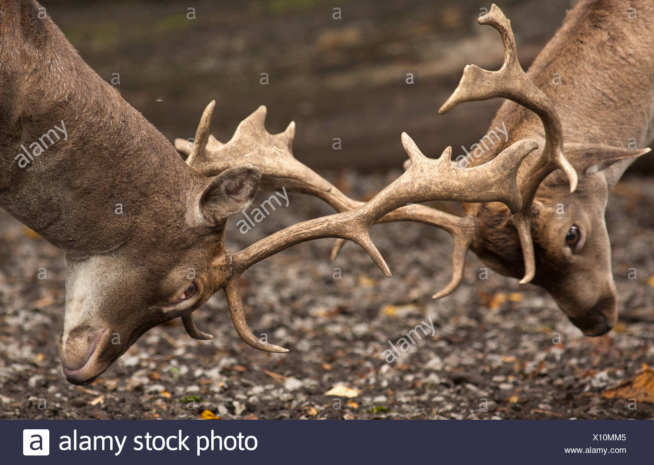 two deer (cervidae) fighting with antlers; northumberland, england - Stock Image