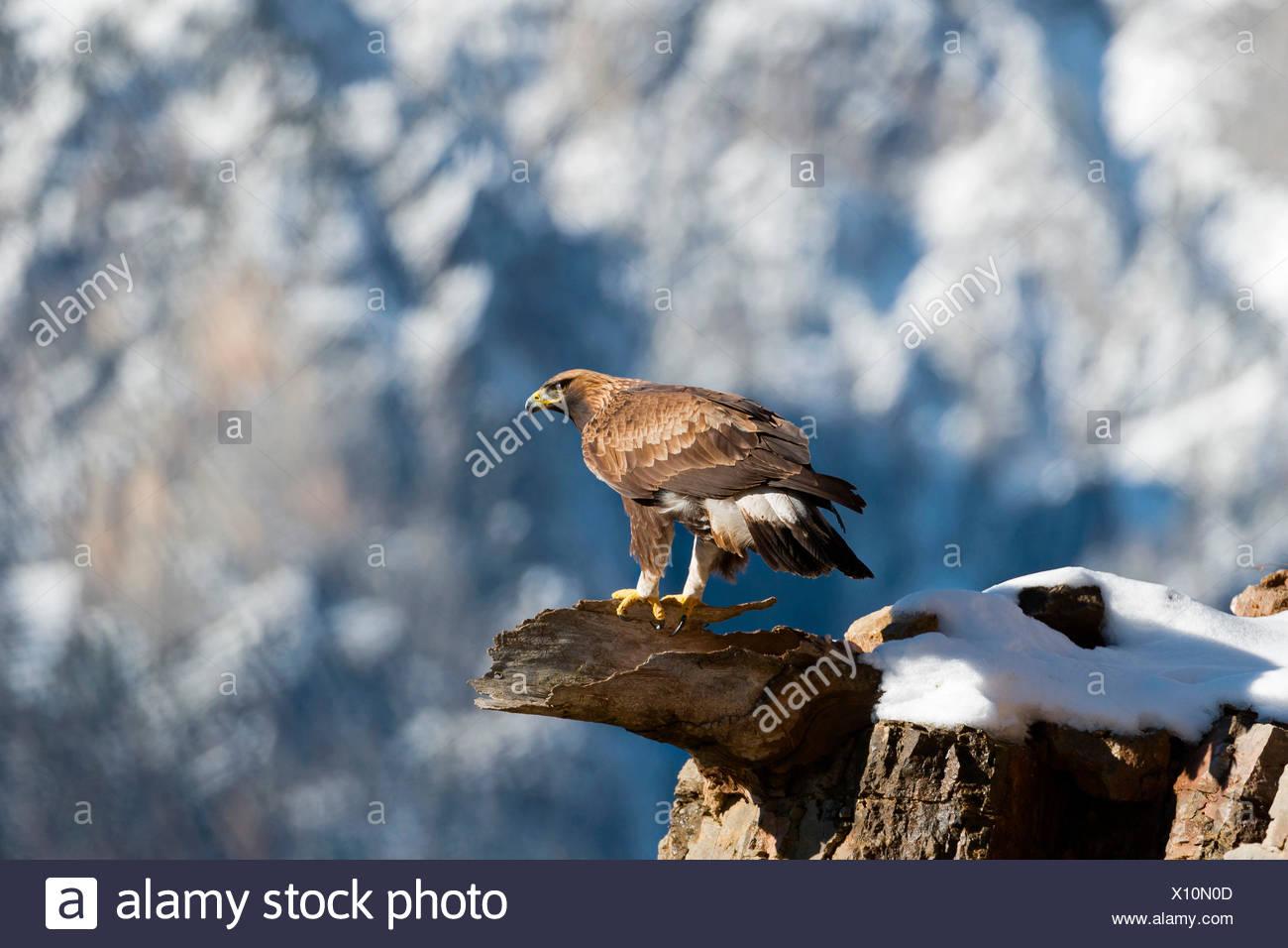 Europe, Italy, Trentino, Dolomites, Fassa Valley, golden eagle - Stock Image