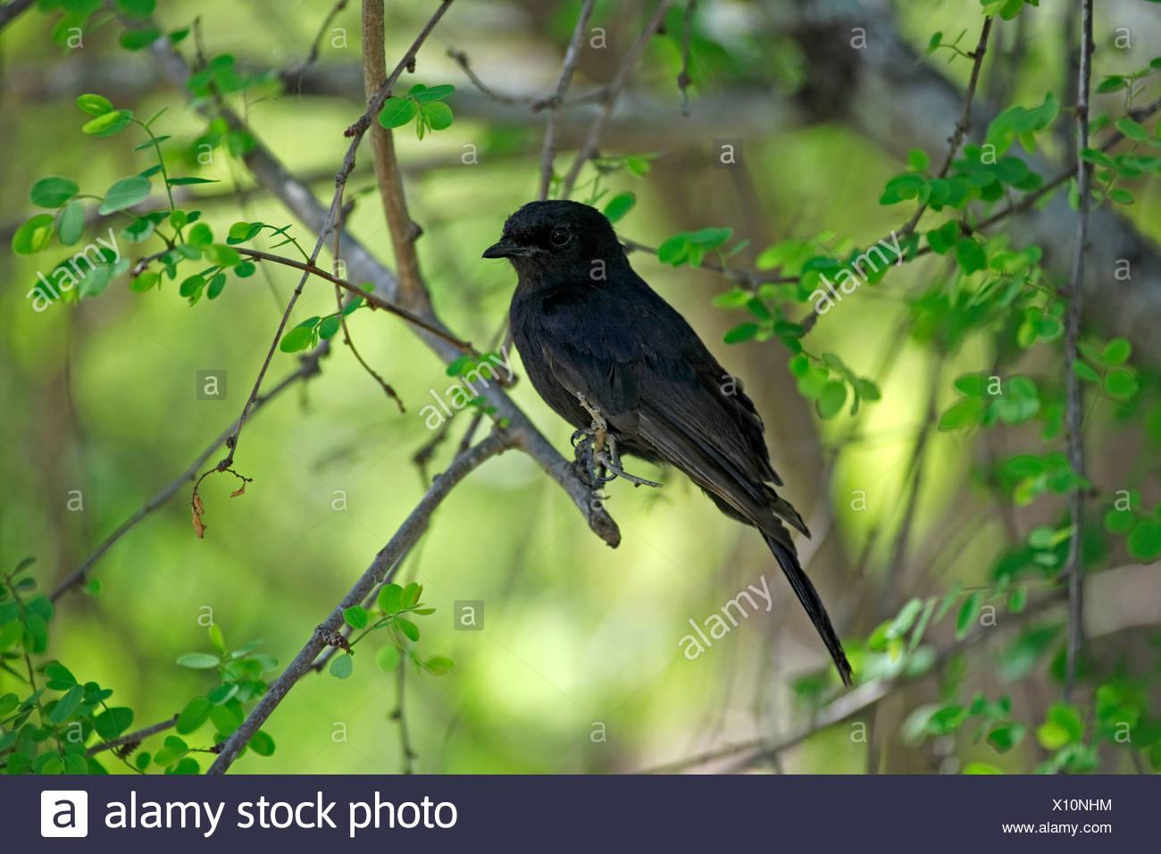 Southern Black Flycatcher - Stock Image