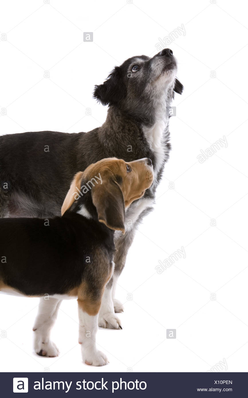 Two dogs looking up Stock Photo
