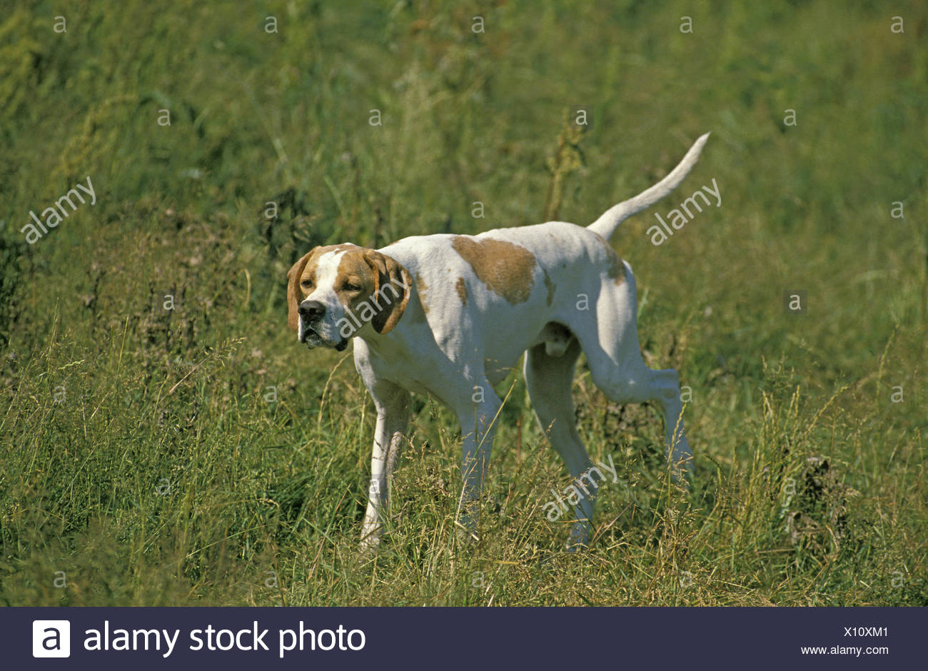 Male Pointer Dog in Field - Stock Image