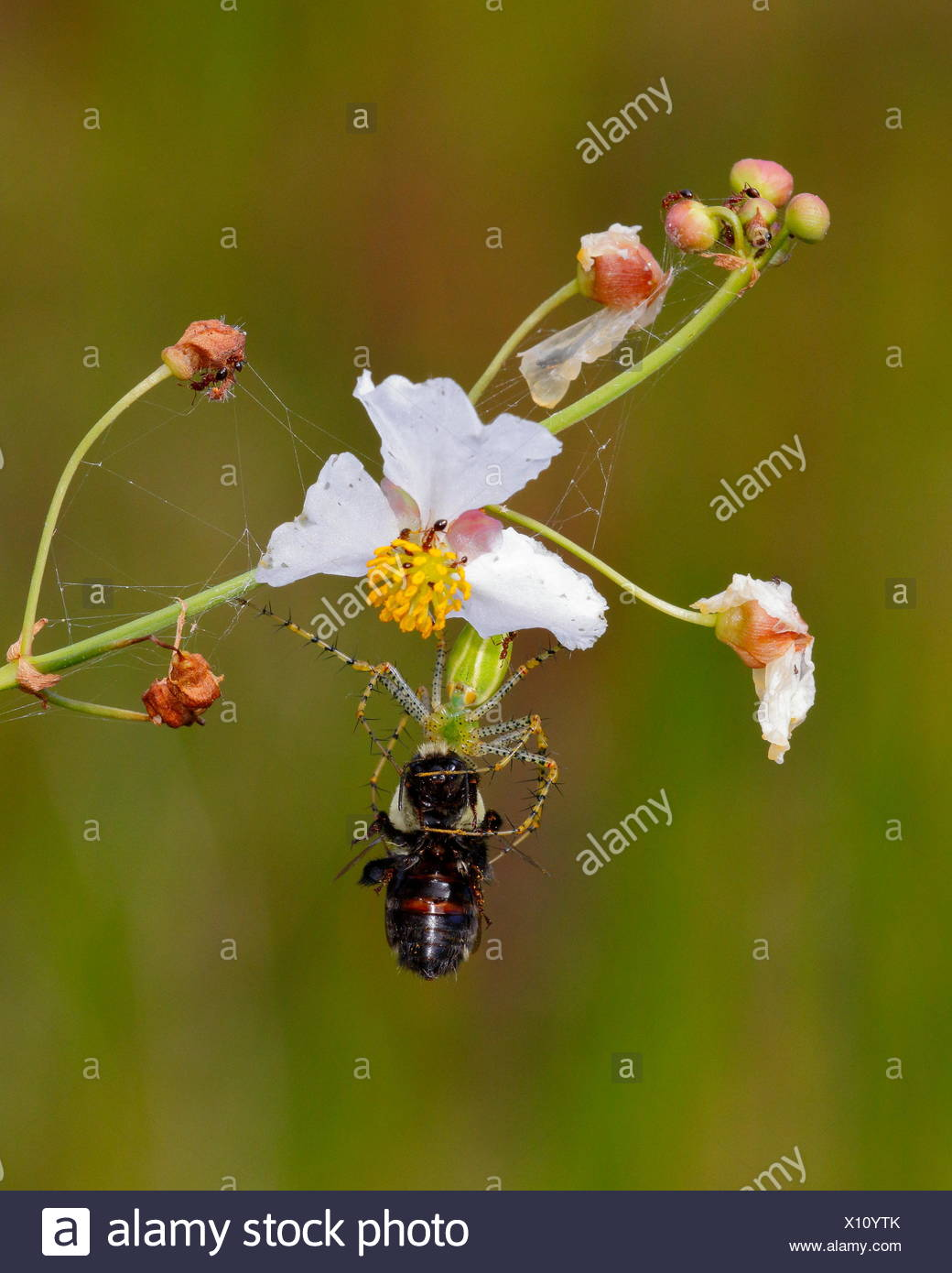 A green lynx spider, Peucetia viridans, preying on a bee. Stock Photo