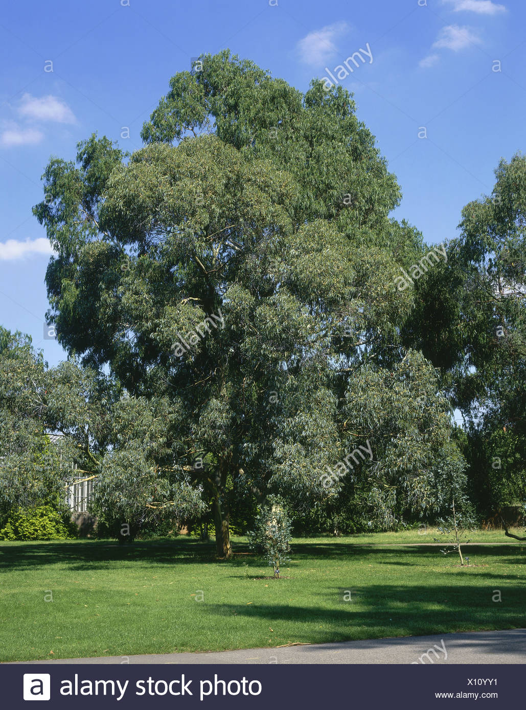 botaniy, Eucalyptus glancescens, 'Tingiringi Gum' at Kew Gardens, London, Great Britain, Additional-Rights-Clearance-Info-Not-Available - Stock Image