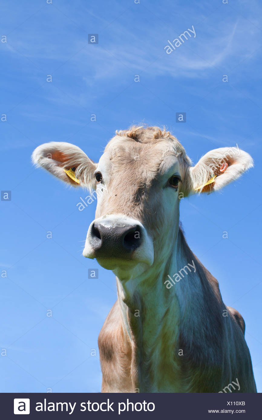 Austria, Mondsee, Cow looking at camera with blue background, close up - Stock Image