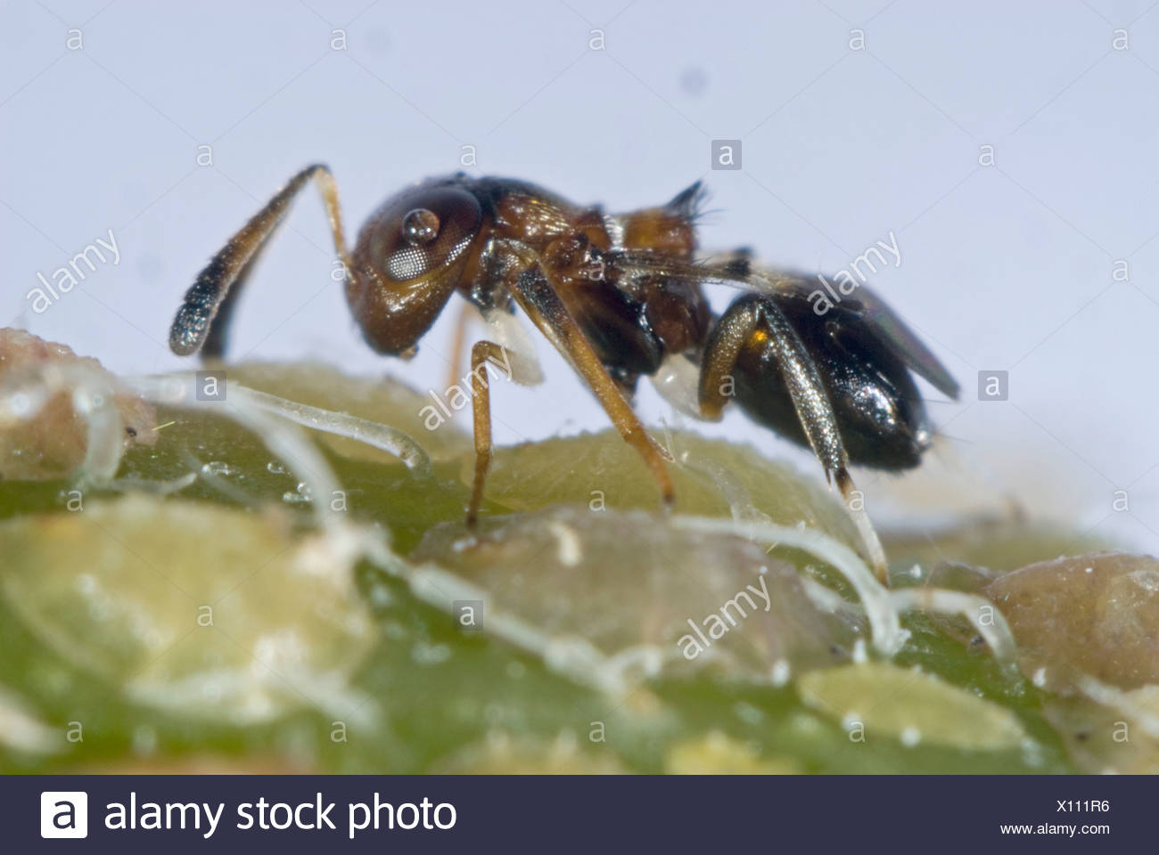 Parasitoid wasp, Encyrtus infelix, commercial biological control parasitoid with scale insect host pests in protected crops - Stock Image