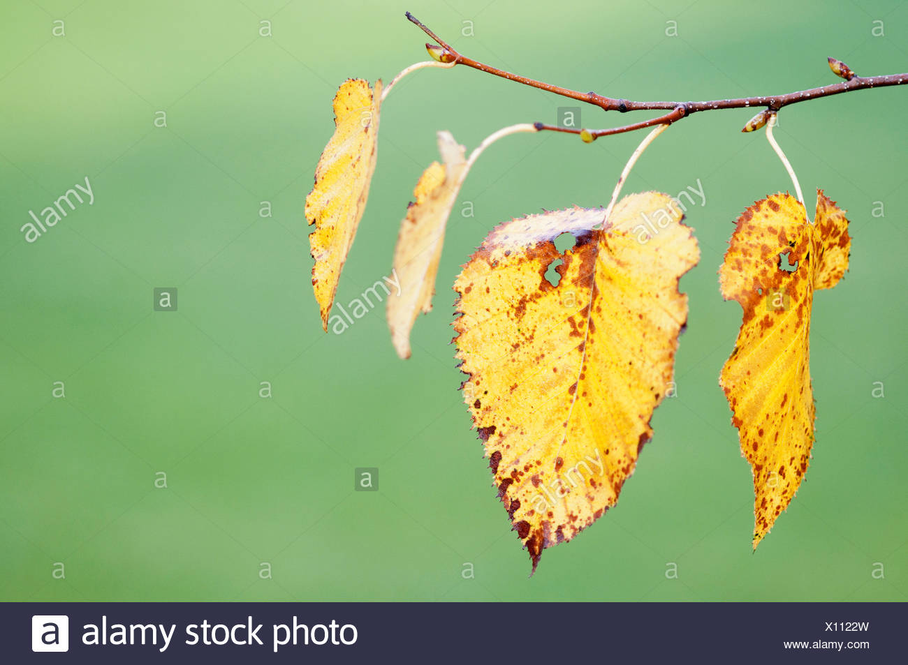 Betula pendula, Birch, Silver birch, Yellow, Green. Stock Photo