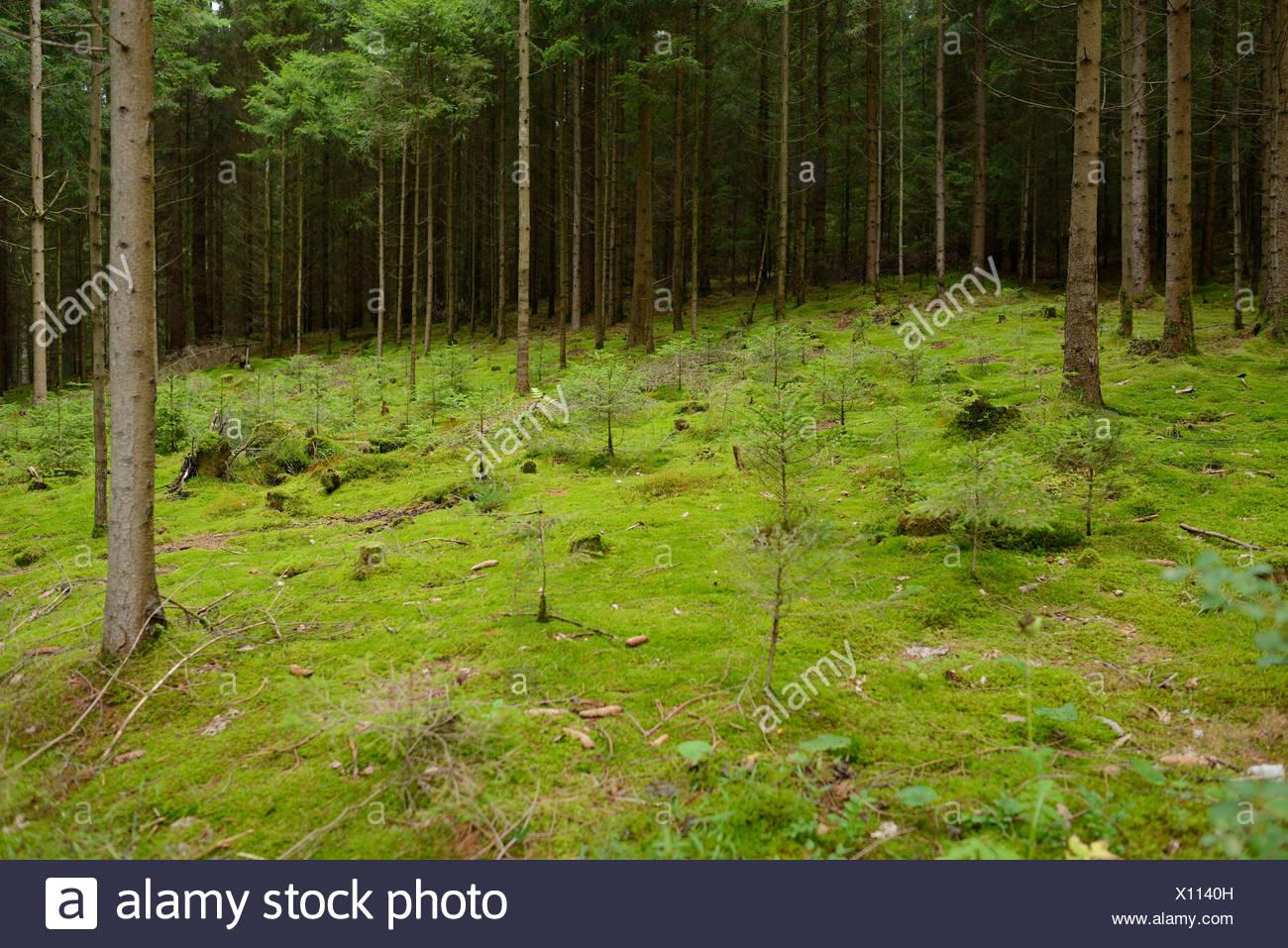 Conifer forest, Upper Palatinate, Bavaria, Germany - Stock Image