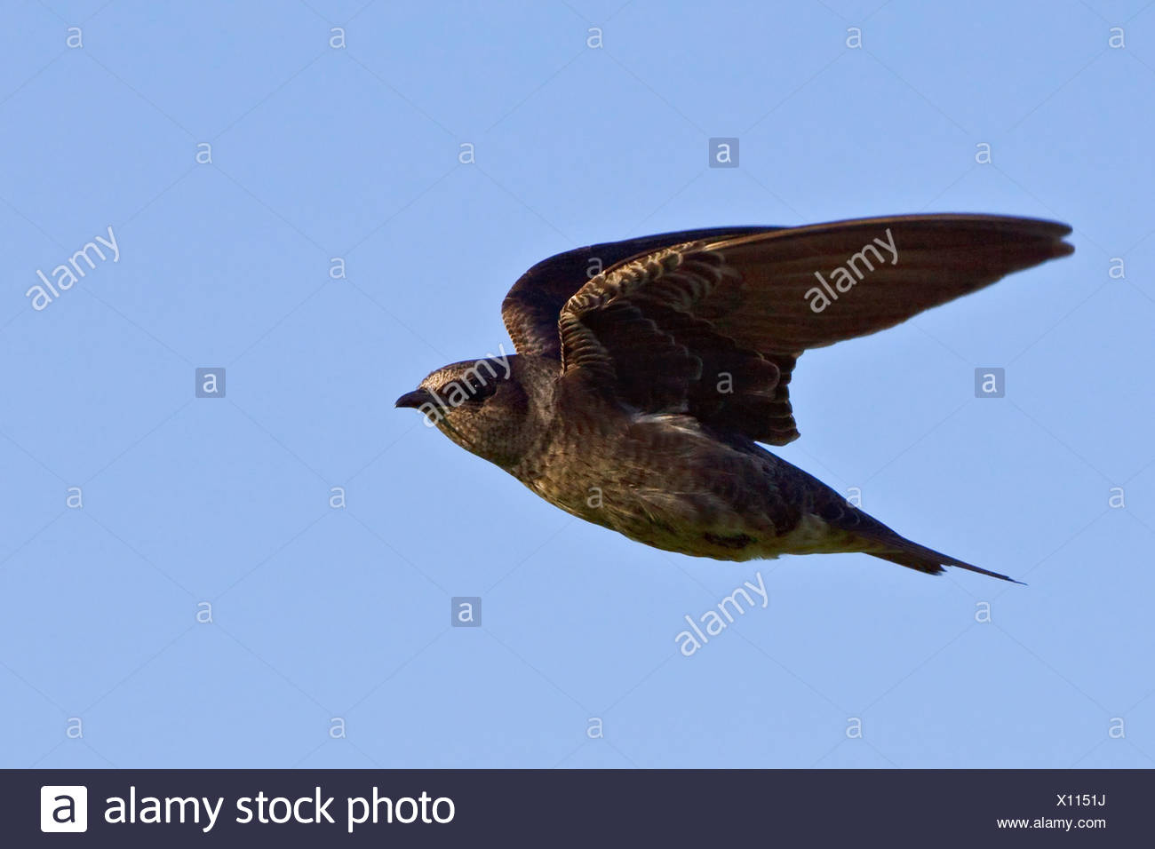 Purple Martin (Progne subis) flying and hunting for insects near Long Point, Ontario, Canada. - Stock Image
