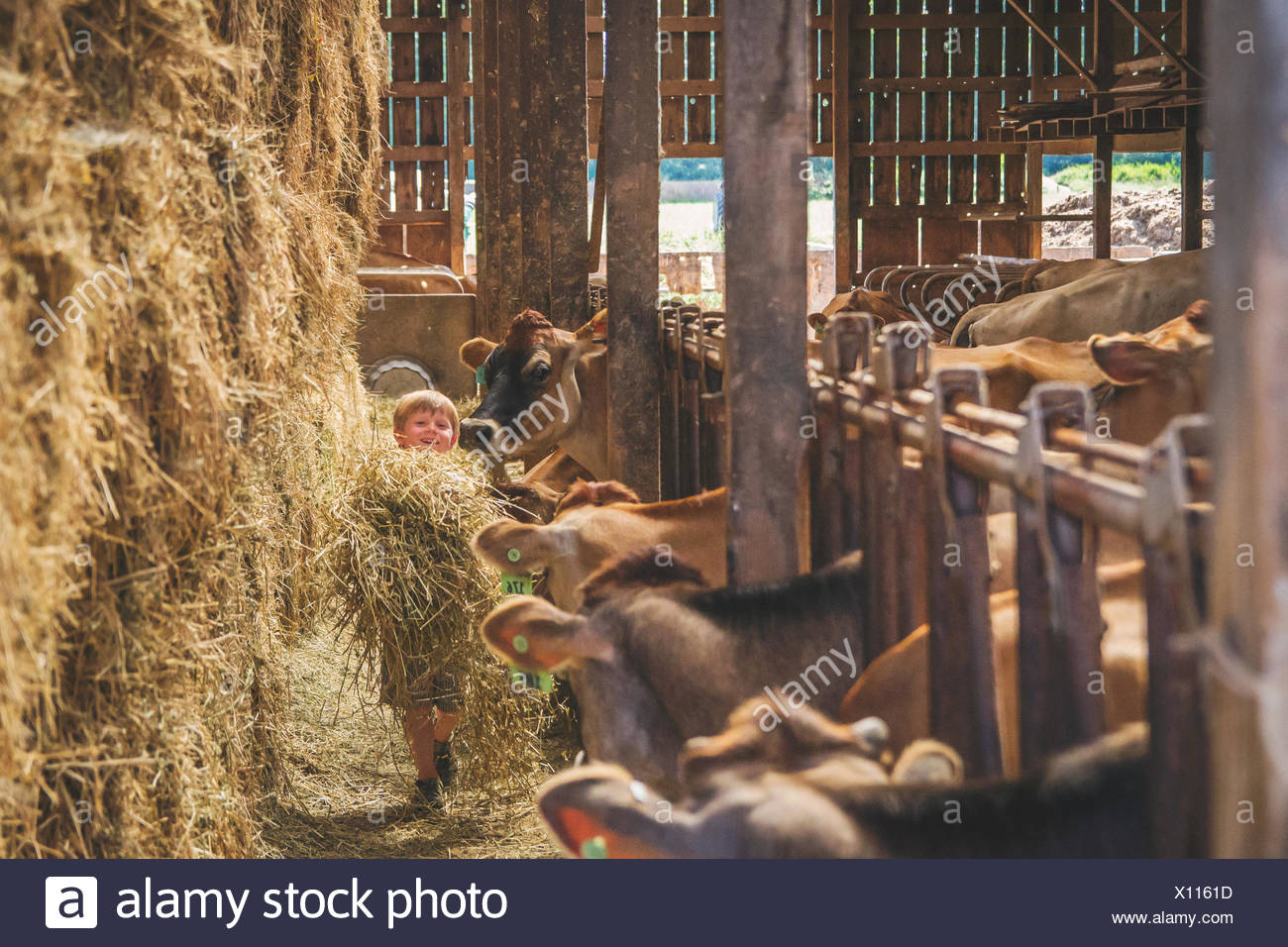 Boy with Cows in stalls on farm - Stock Image
