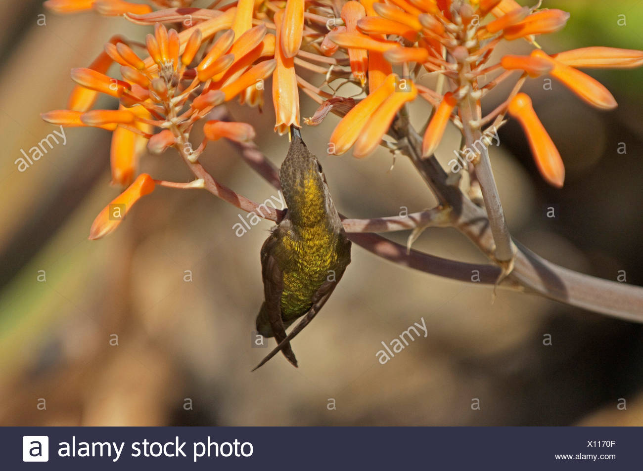 hummingbird feeding on the nectar of a flower, USA, California - Stock Image