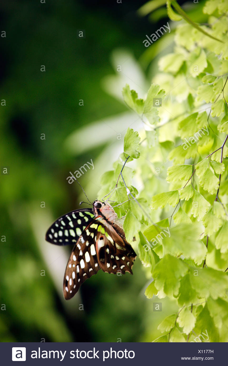 Graphium agamemnon papilionidae butterfly - Stock Image