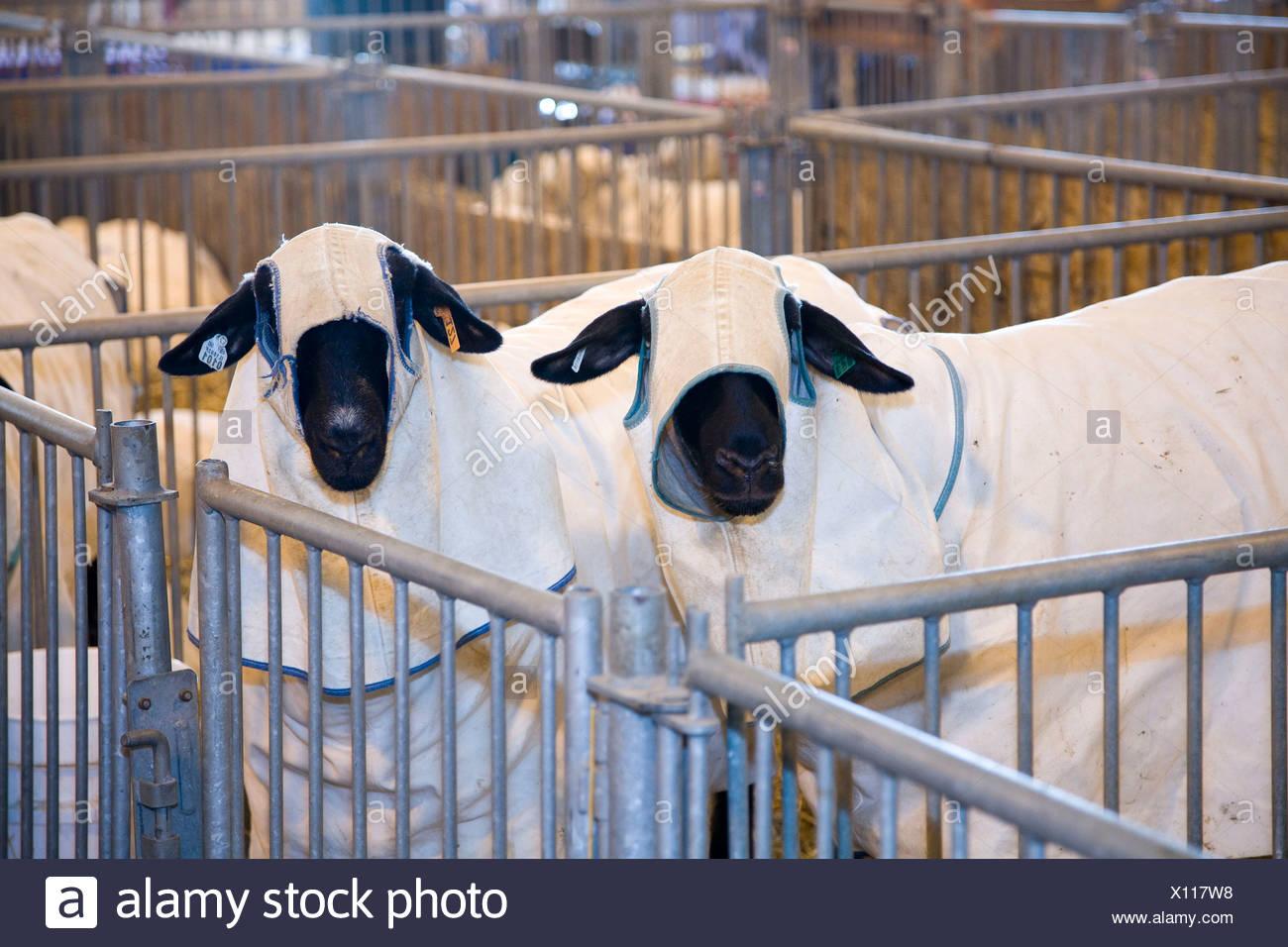 Sheep wearing protective coats at Illinois State Fair. USA - Stock Image