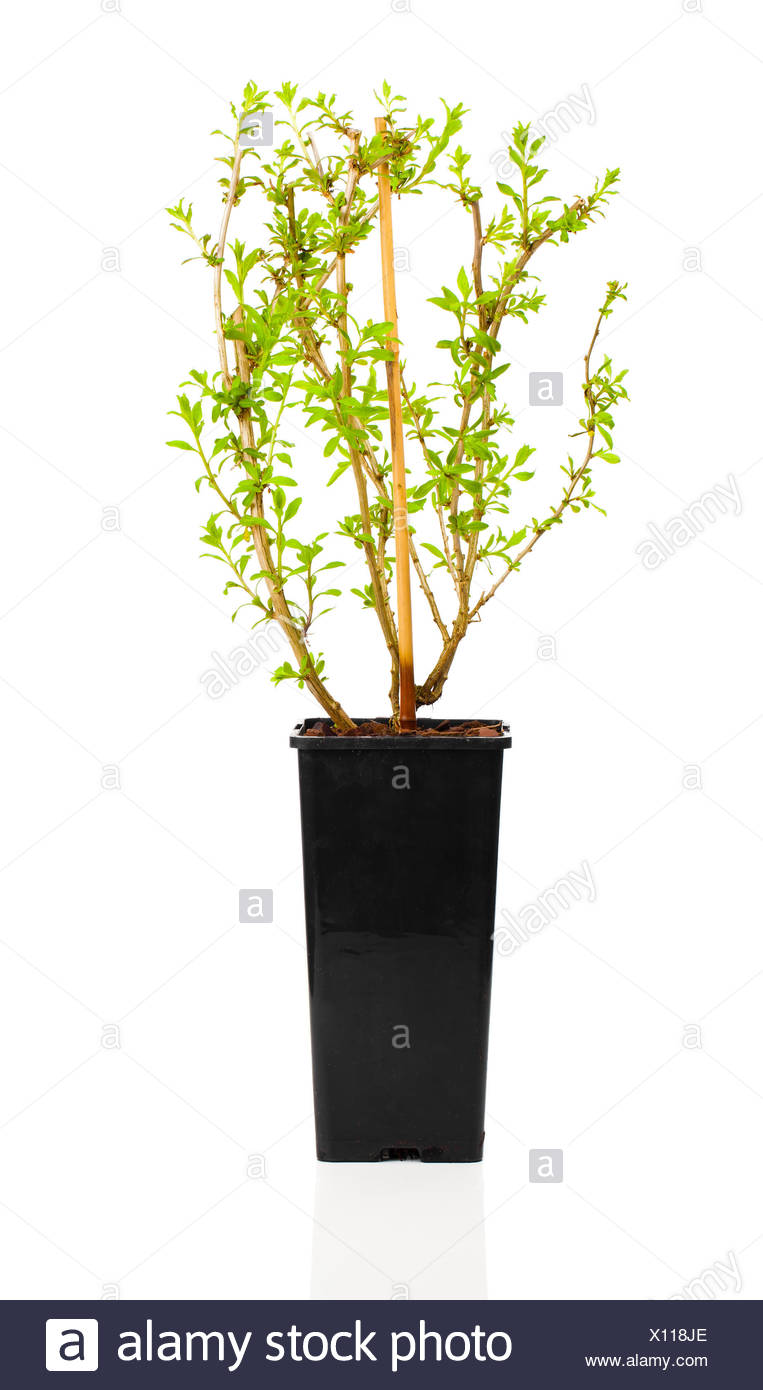 Young Plant Seedlings Goji Berry In The Pot Bocksdorn Lycium Barbarum Of The Family Of The Night Shadow Plants Solanaceae Stock Photo Alamy