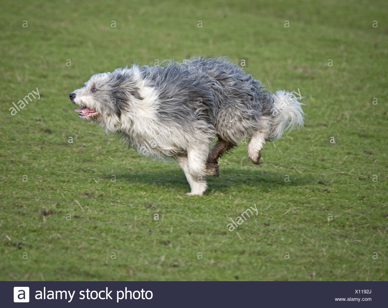 Domestic Dog Bearded Collie adult running England - Stock Image