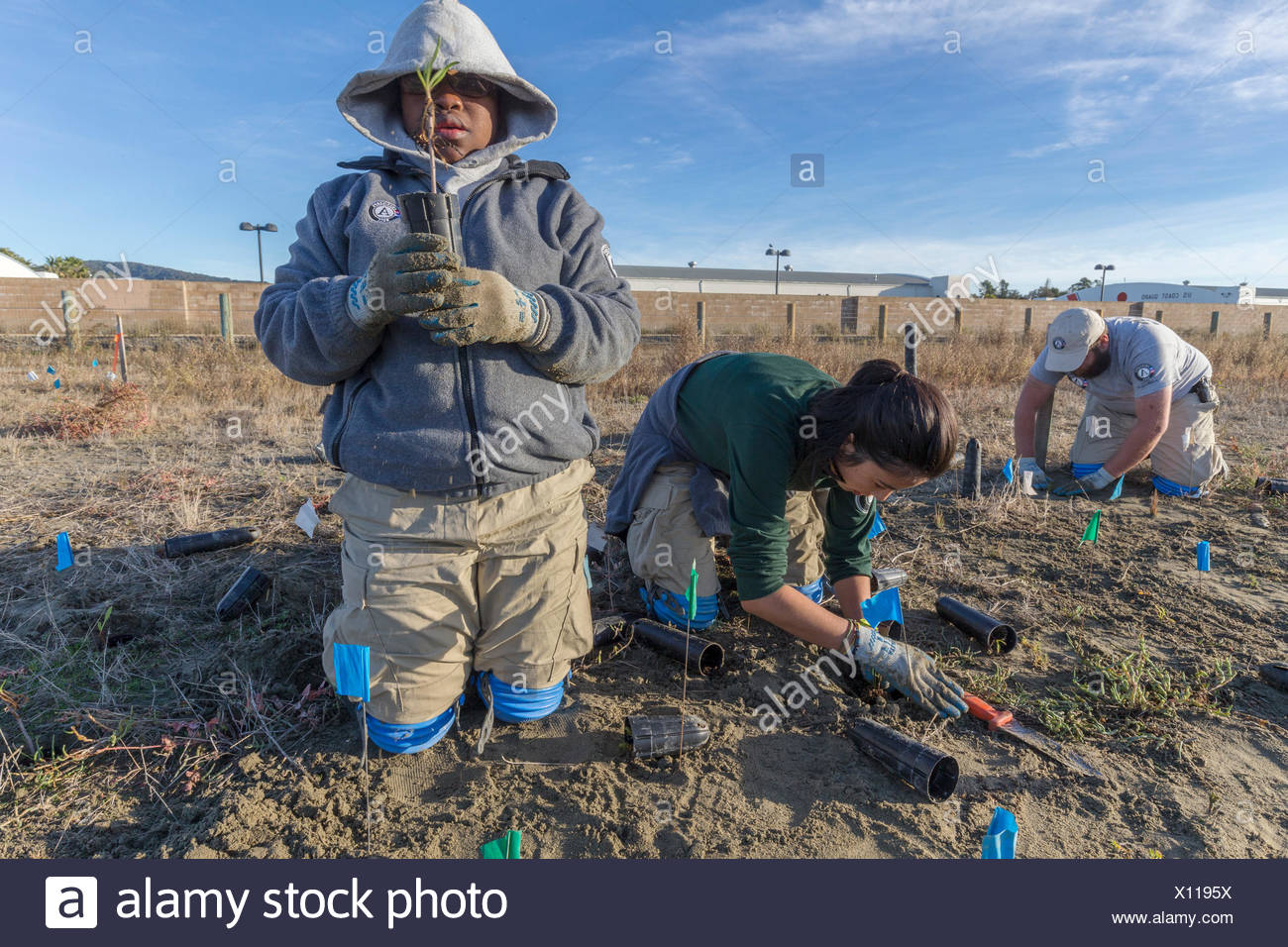 three AmeriCorps volunteers planting native wetlands species in the restored Hamilton Field Tidal Marsh,Novato,California,USA - Stock Image