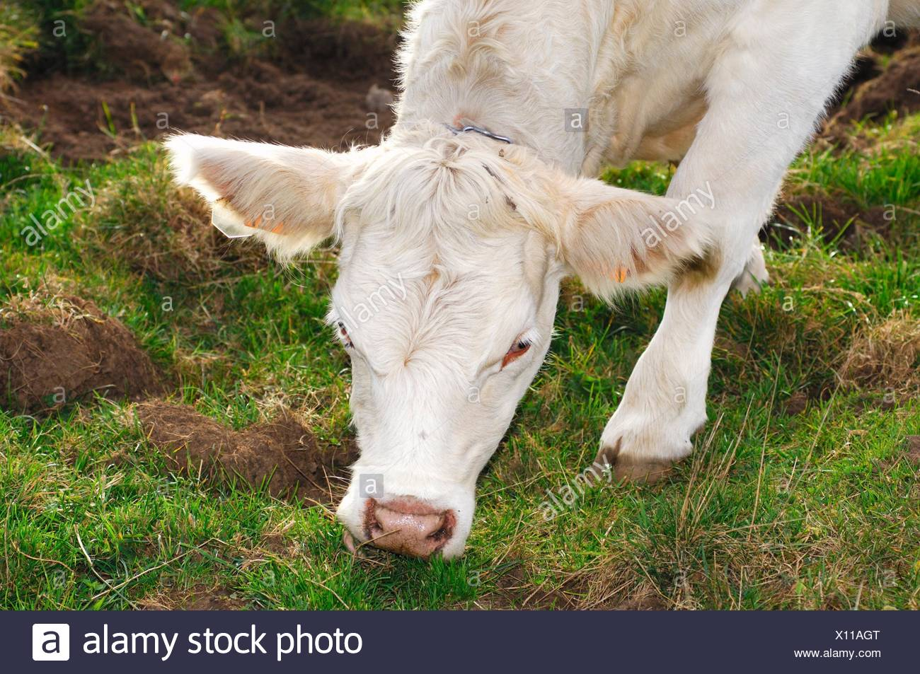Charolais fattening bull, France - Stock Image