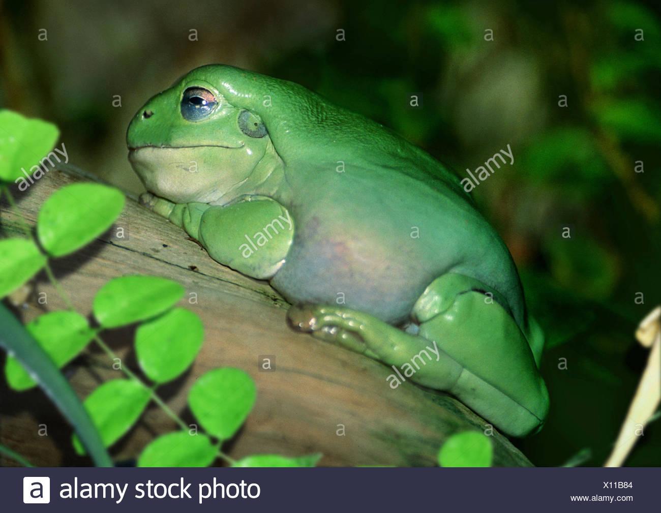 Green Tree Frog White's Treefrog (Litoria caerulea, Hyla caerulea, Pelodryas caerulea), on a branch, Australia - Stock Image
