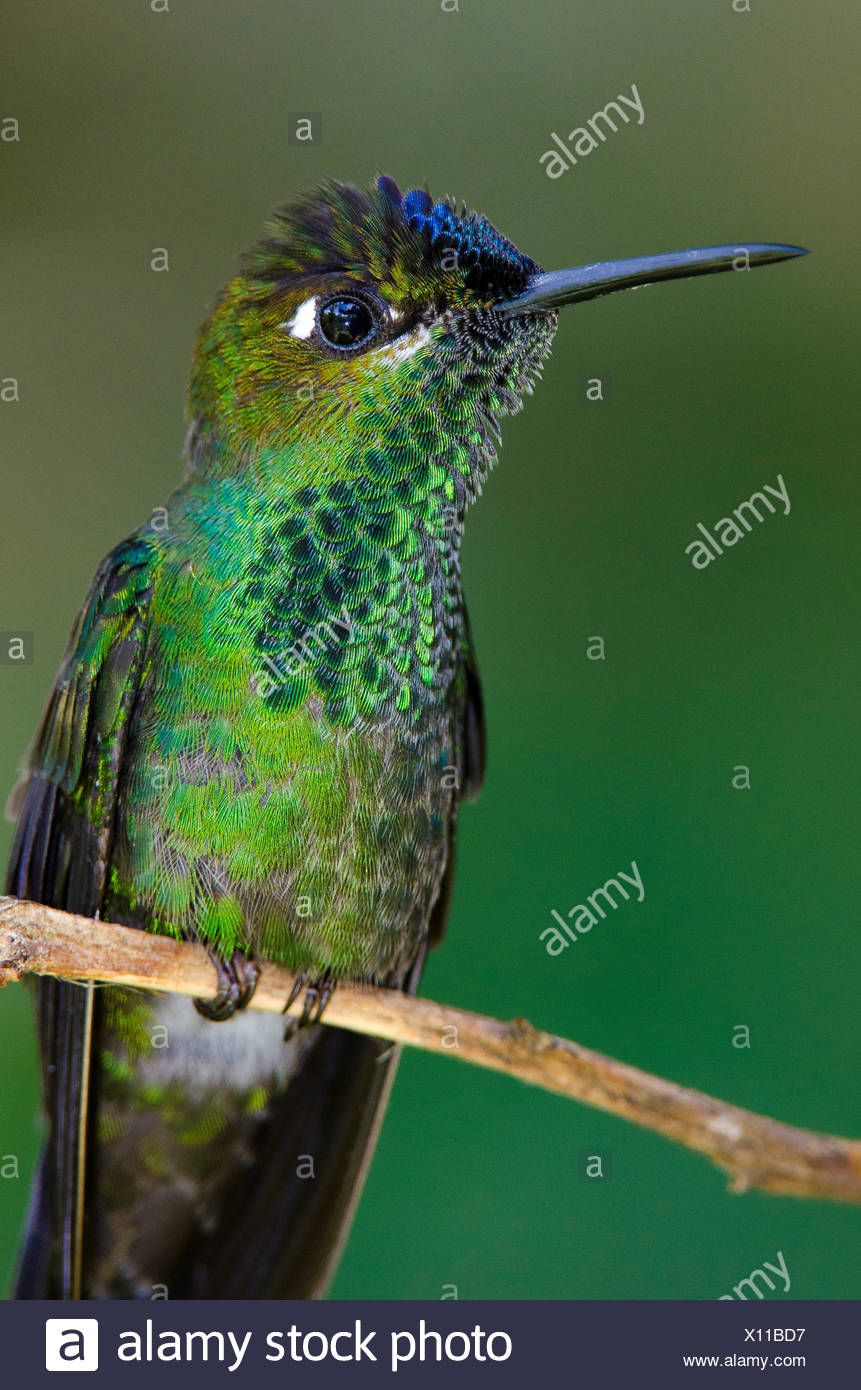 A violet-fronted brilliant hummingbird, Heliodoxa leadbeateri, perched on a twig. - Stock Image