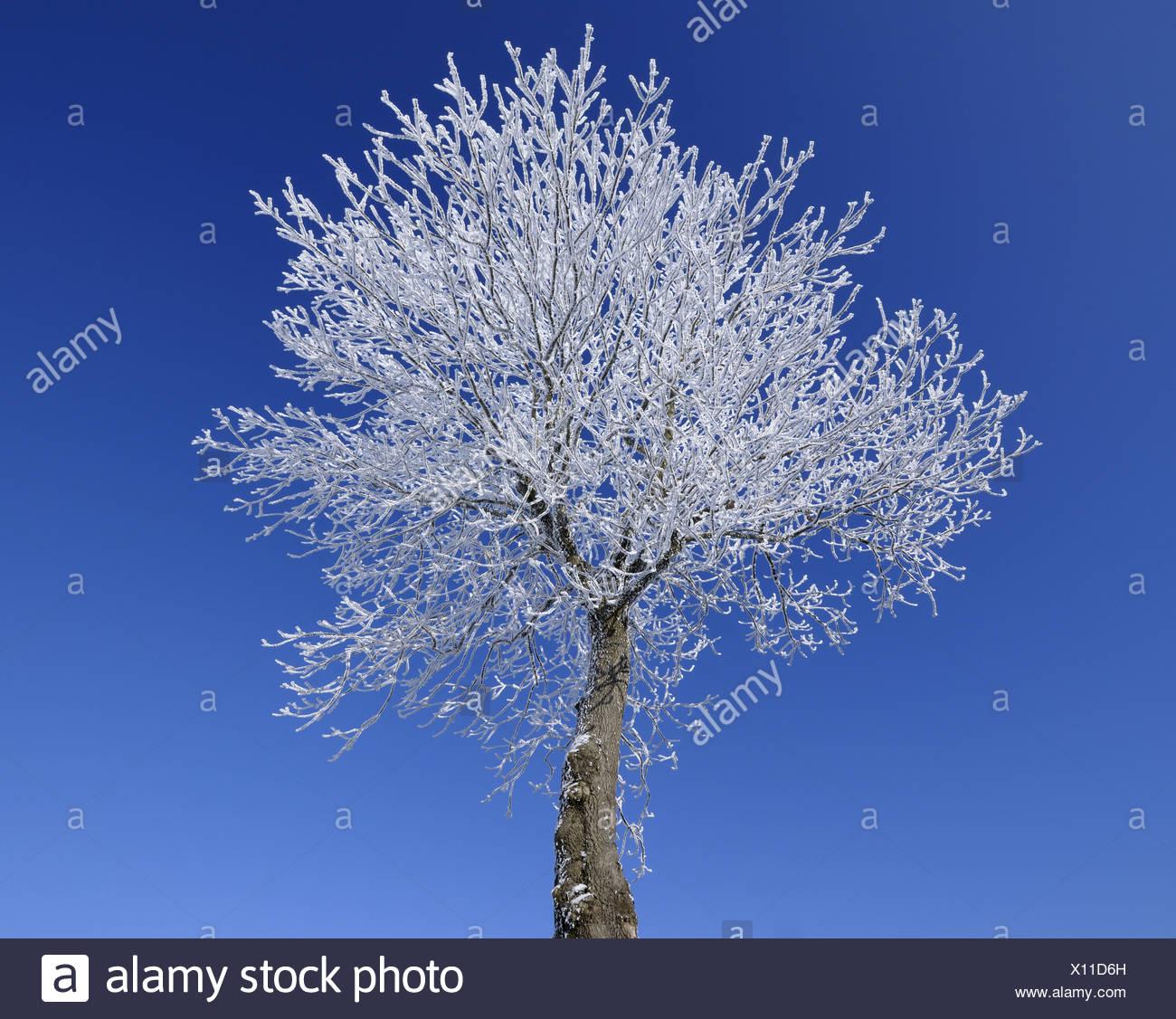 singel tree with hoar frost and blue sky, Germany, Hesse, Rhoen, Wasserkuppe - Stock Image