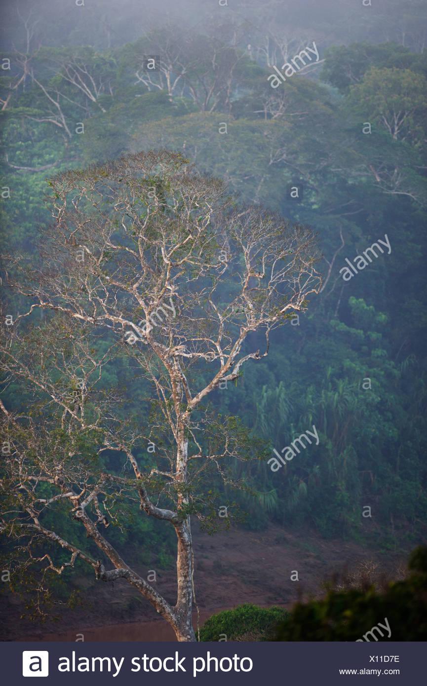 Primary lowland tropical rainforest at dawn Tambopata Amazon Peru - Stock Image