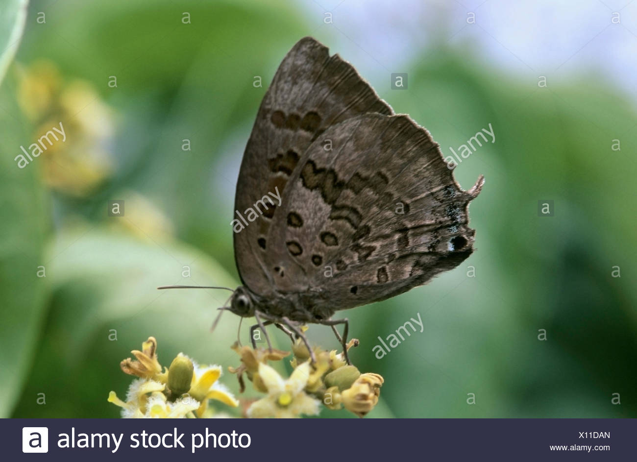 Small blue butterfly - Stock Image
