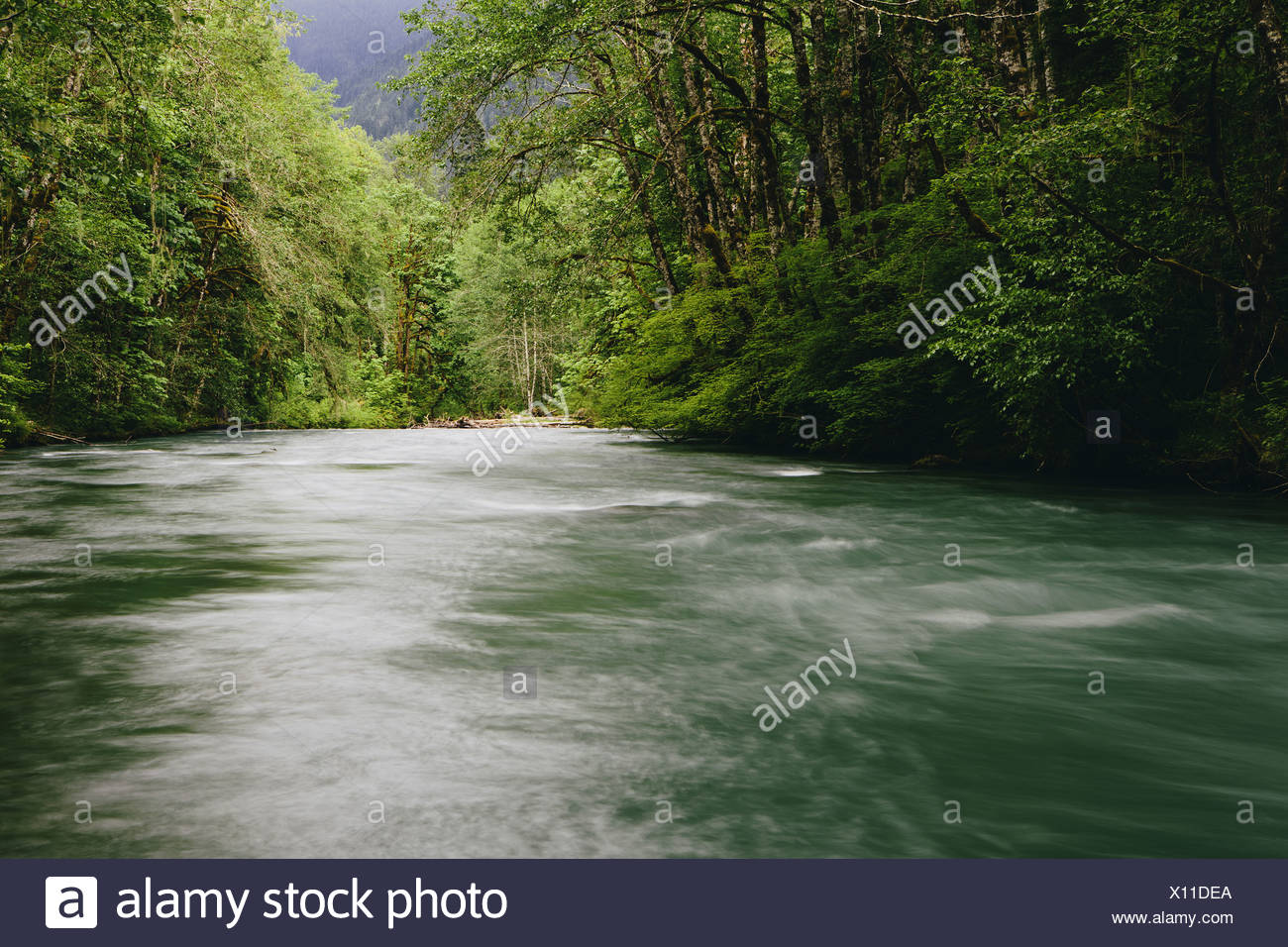 Dosewallips River and lush green temperate rainforest Olympic NP - Stock Image