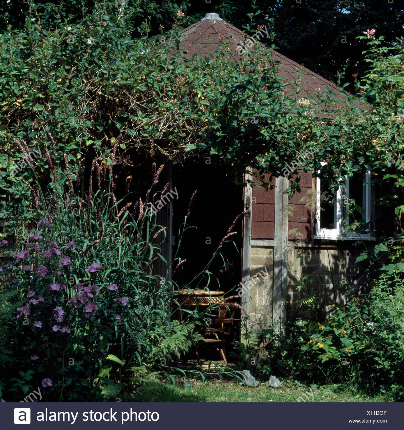 Purple hibiscus growing beside wooden summer h ouse in country garden - Stock Image