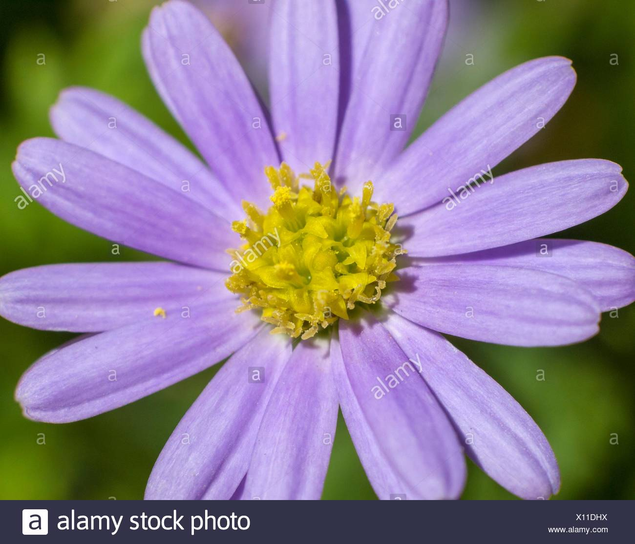Magenta flower. Macro. - Stock Image