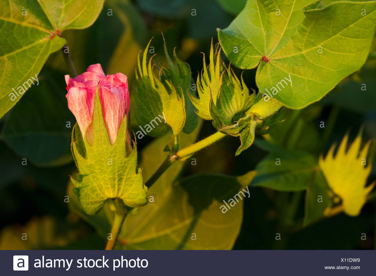 Agriculture - Closeup of a pink blossom and green squares on a mid growth cotton plant / Arkansas, USA. - Stock Image