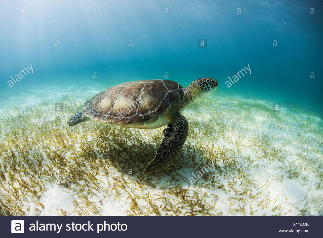 Green Turtle (Chelonia Mydas) looks for seagrass foraging grounds in the shallows of Akumal Bay, Mexico - Stock Image