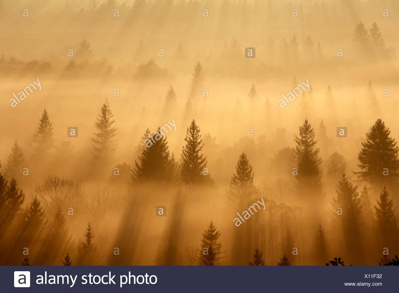 Conifer forest in morning fog, morning mood in the Pupplinger riparian forest near Wolfratshausen, Isar wetlands, Upper Bavaria - Stock Image