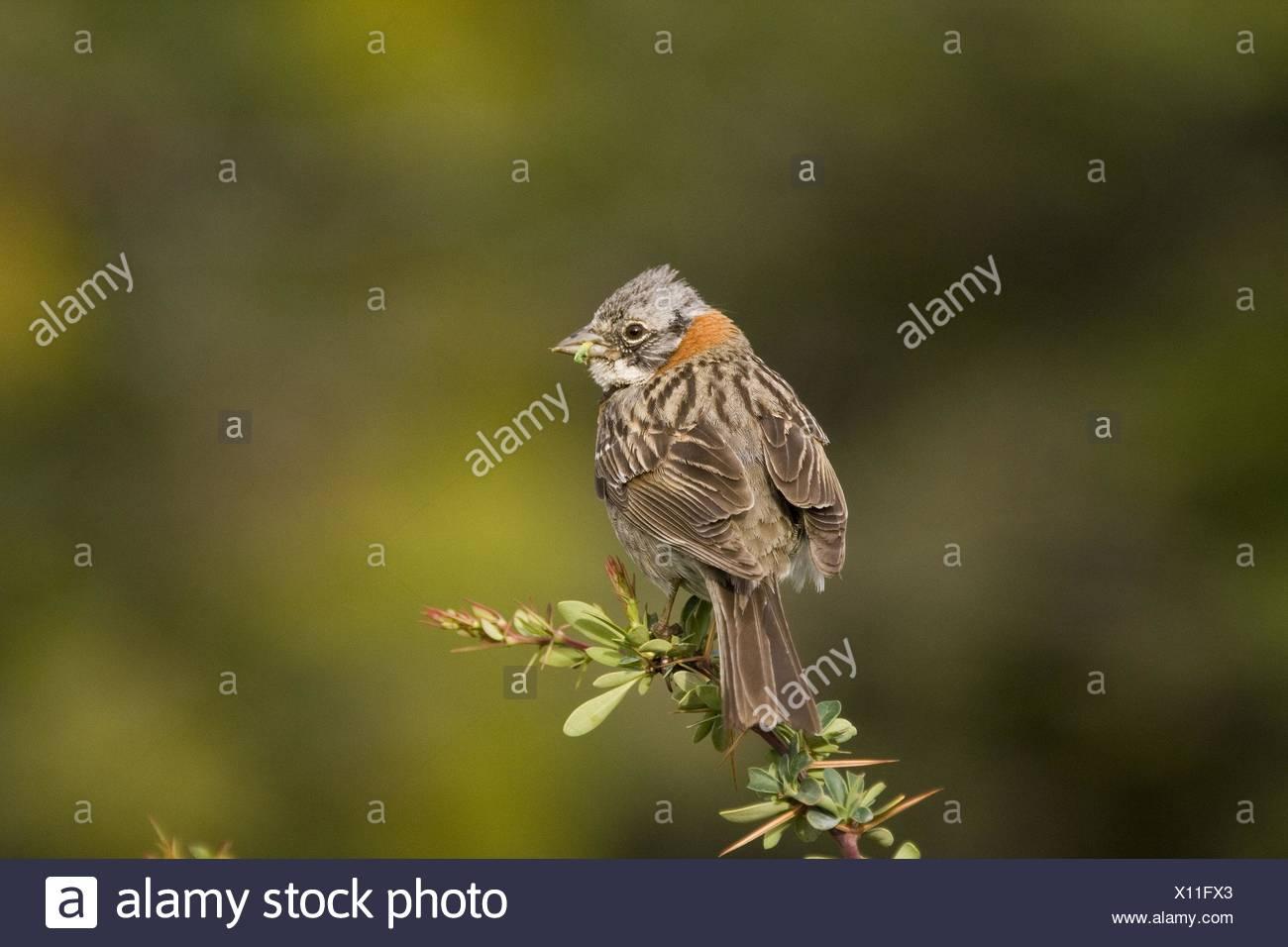 Rufous-collared Sparrow Stock Photo