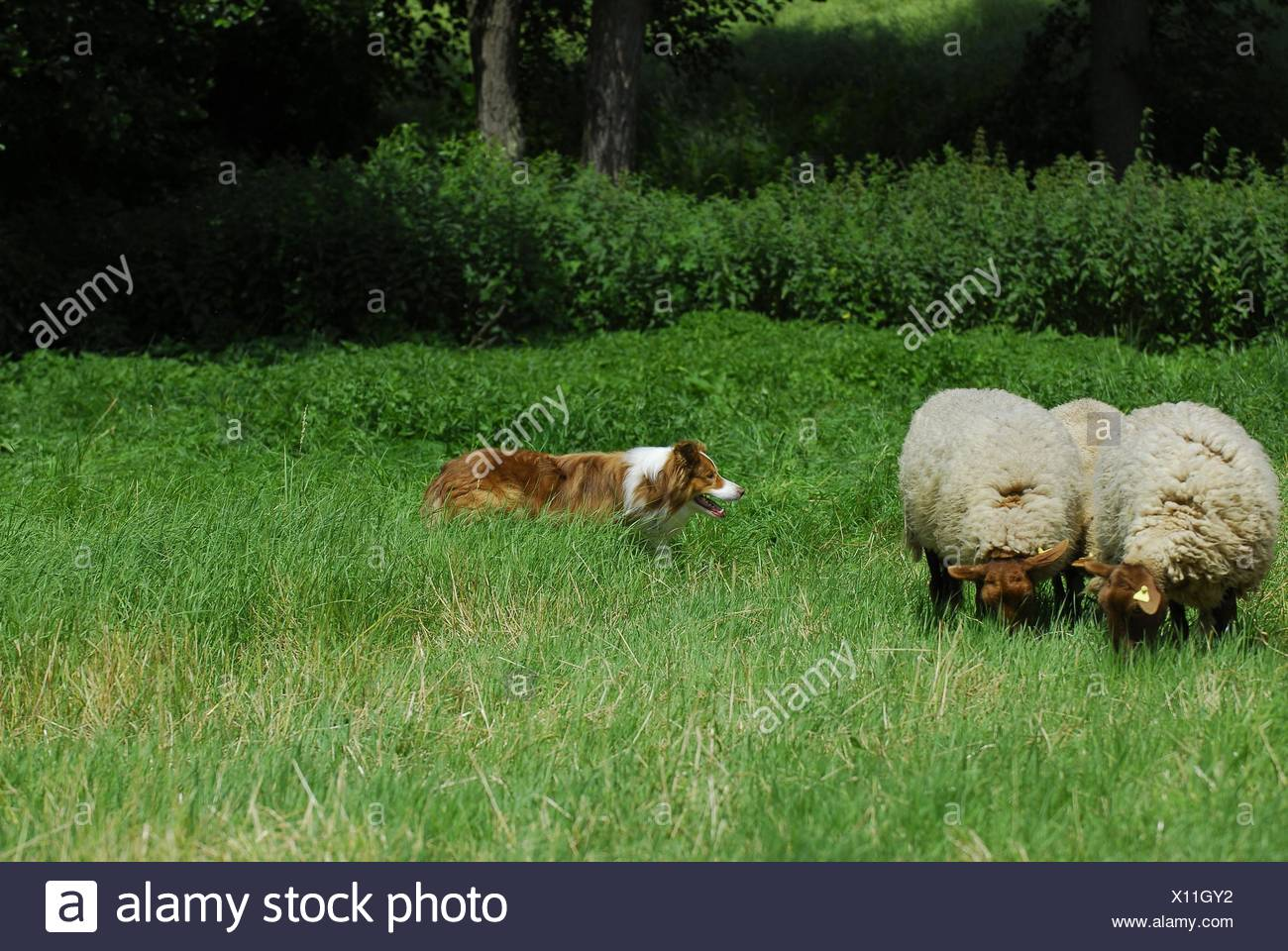 shepherding Border Collie Stock Photo