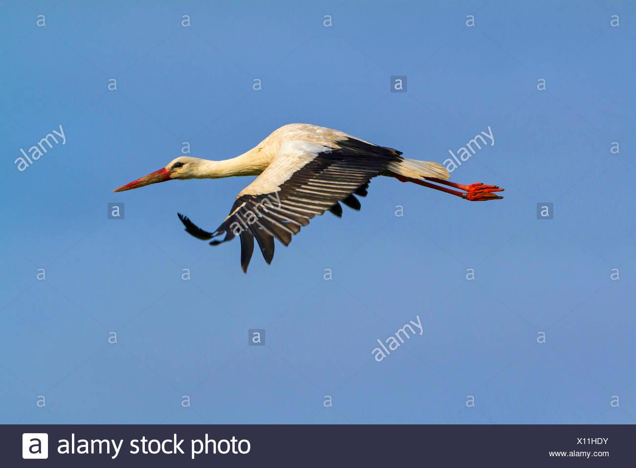 white stork (Ciconia ciconia), flying, Switzerland, Sankt Gallen Stock Photo