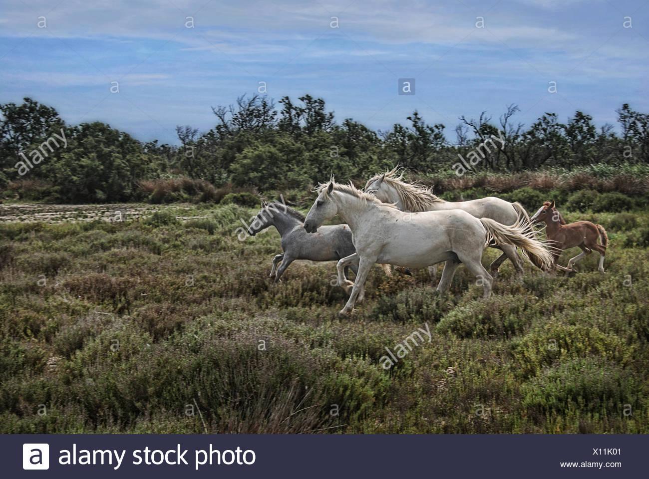 Camargue horses - Stock Image