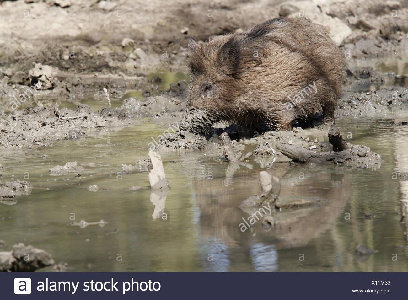 boar - Stock Image