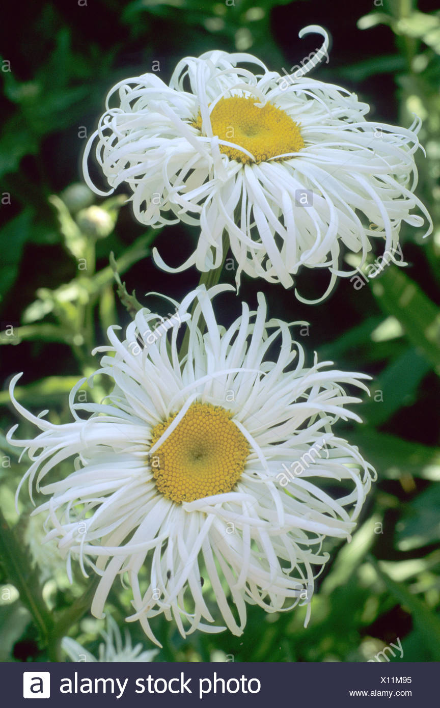 Leucanthemum X Superbum Phyllis Smith Yellow Centred White Flower