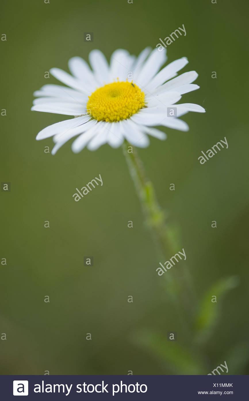ox-eye daisy, leucanthemum vulgare Stock Photo