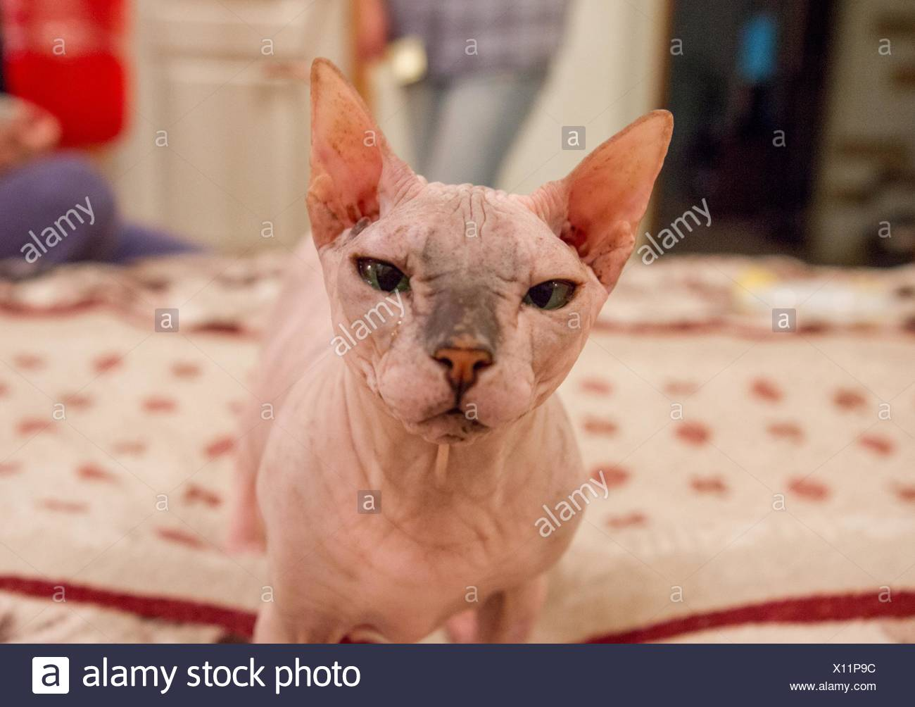 Sphynx Hairless Cat - Stock Image