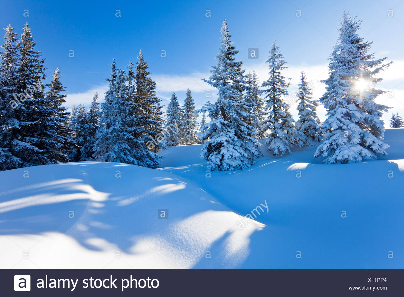 Snow-covered spruce trees, Berchtesgaden Alps, Muehlbach, Austria Stock Photo