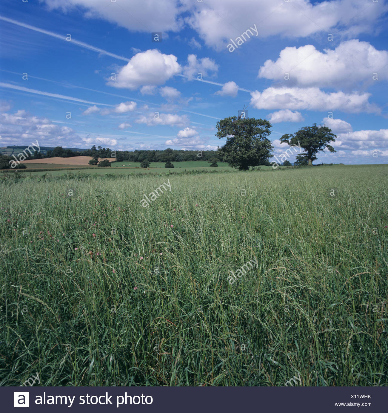 Mature seeding ryegrass Lolium sp ley in summer - Stock Image