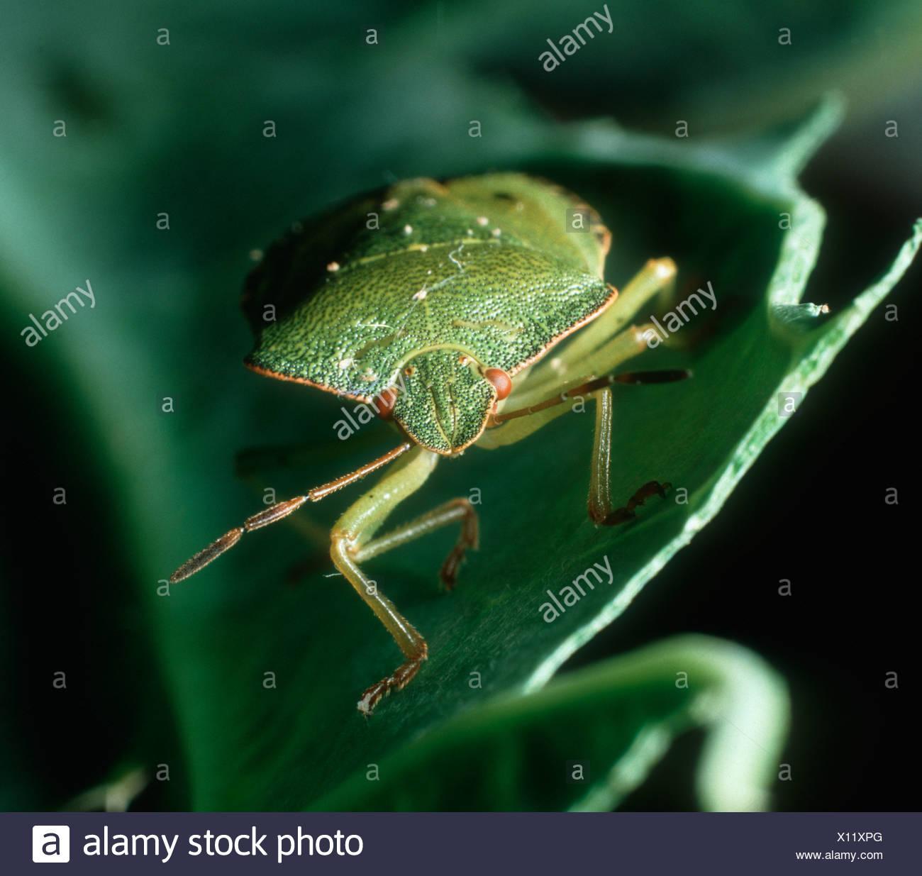 Green shield bug Palomena prasina adult head on dramatically lit - Stock Image
