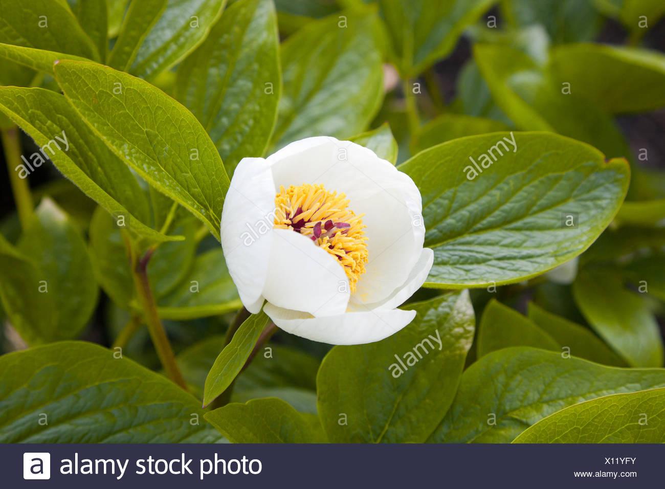 Macro of Paeonia officinalis Stock Photo
