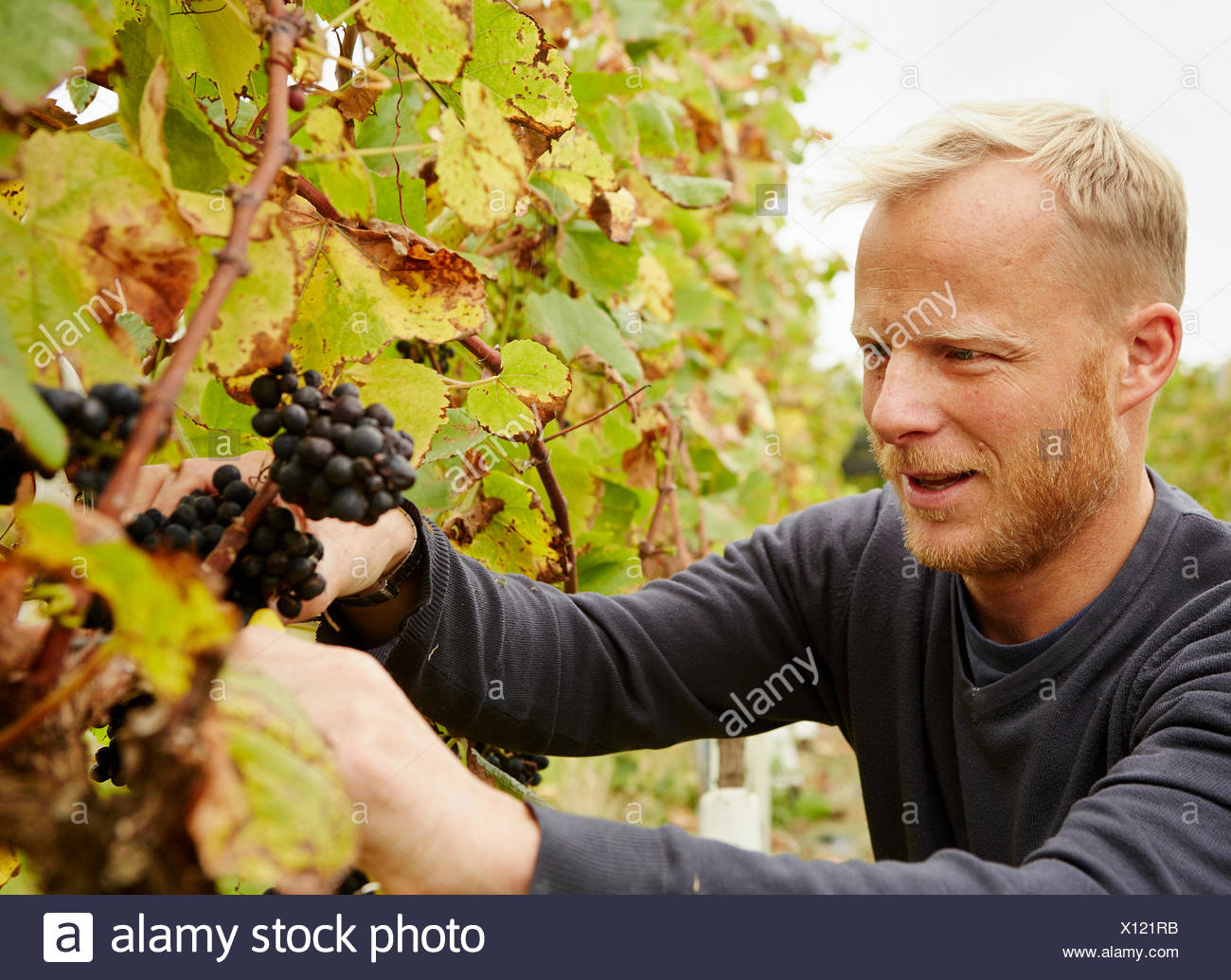 A grape picker at work selecting bunches of grapes on the vine. - Stock Image