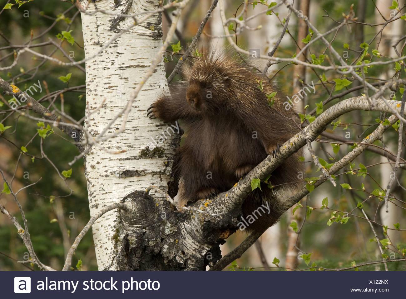 Een Noord-Amerikaans Stekelvarken staat in een boom,A Porcupine standing in a tree. Stock Photo