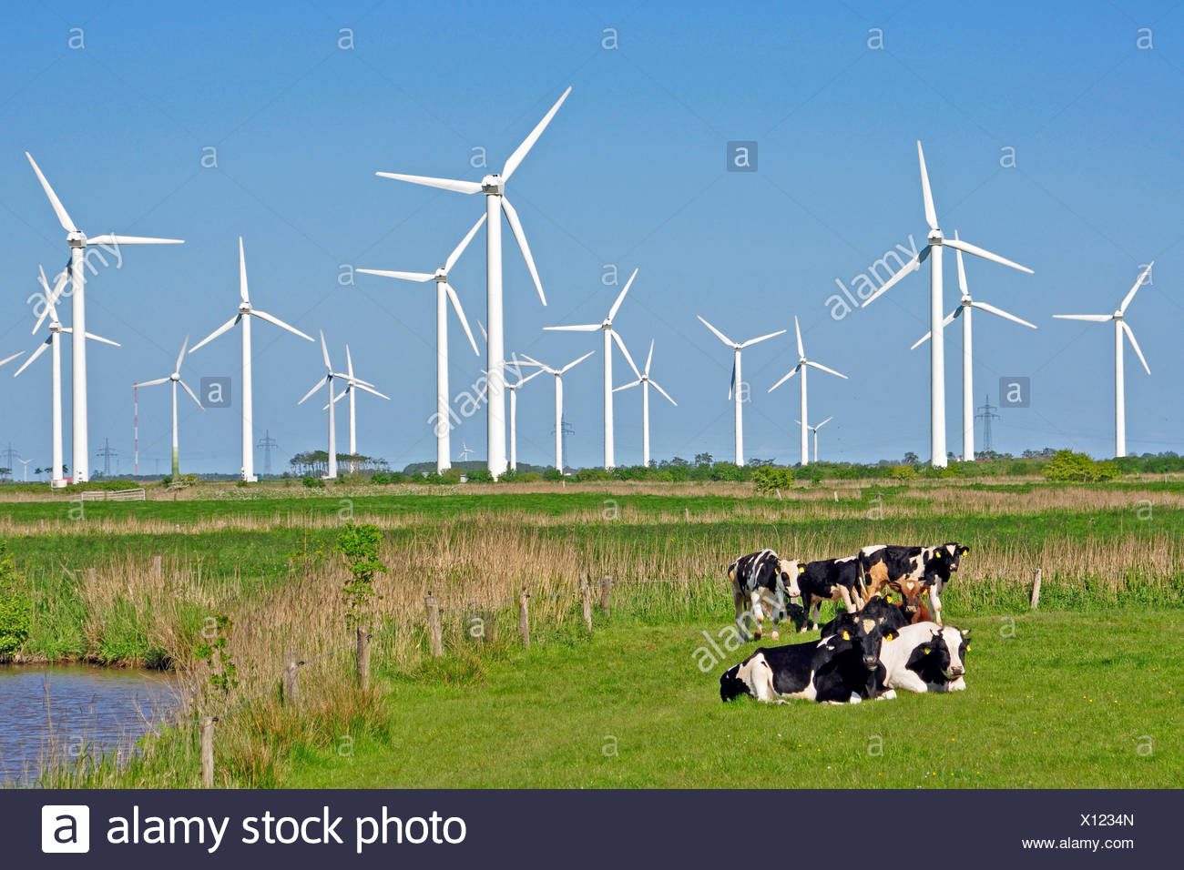 domestic cattle (Bos primigenius f. taurus), in a pasture in front of a wind power station, Germany, Lower Saxony, East Frisia, Dornum - Stock Image